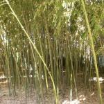 Бамбуковые заросли
